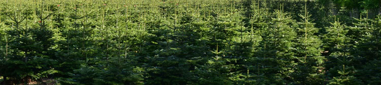 unsere Tannenbäume beim wachsen