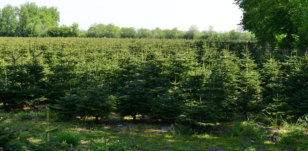 Weihnachtsbäume Tannen 2016